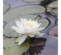 Nymphaea White Sensation (Вайт Сенсейшон)