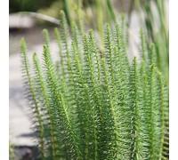 Hippuris vulgaris (Водяная сосенка, хвостник обыкновенный)